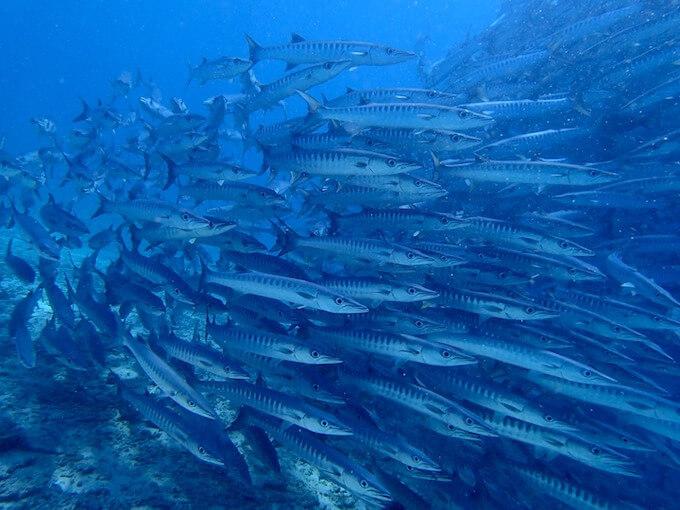 シパダン島のダイビング:バラクーダトルネード3