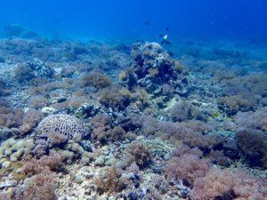 マタキング島のサンゴ礁(ソフトコーラルがいっぱい!)
