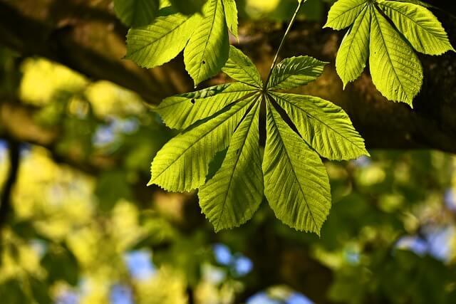 健康な栗の葉っぱ