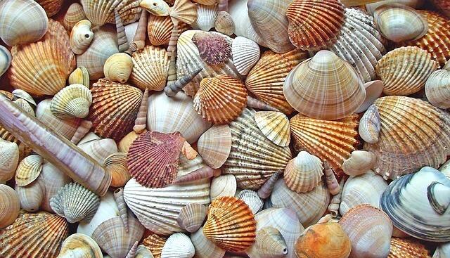 パラオのお土産(貝殻)