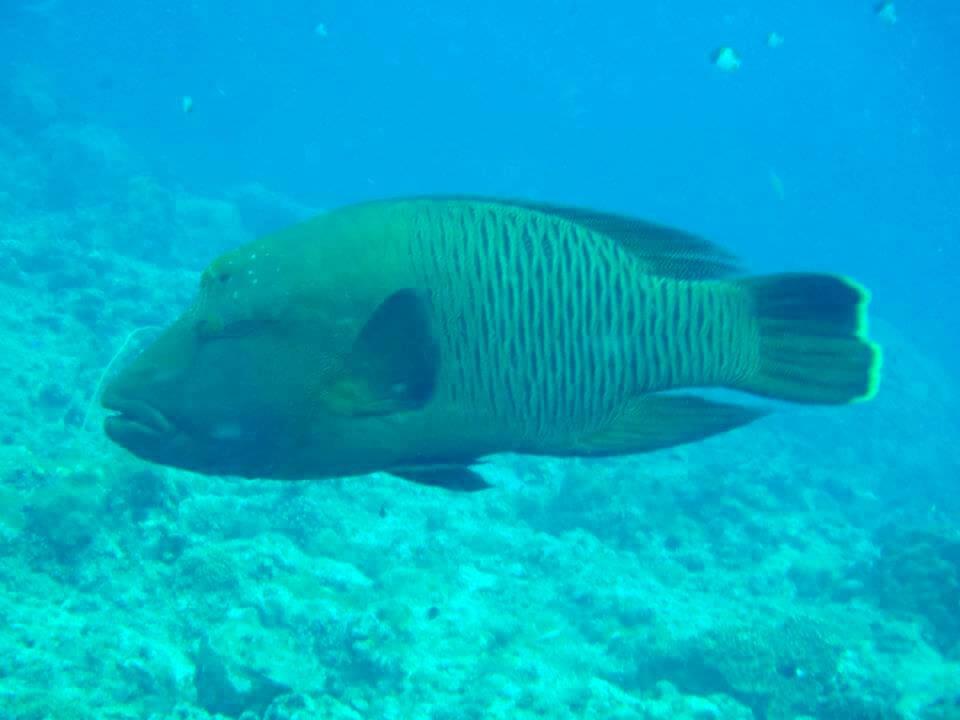 パラオのサンゴと魚ナポレオンフィッシュ
