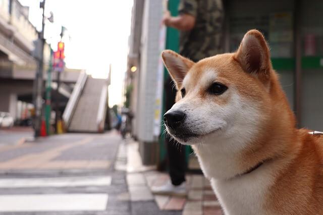 シバ犬の写真