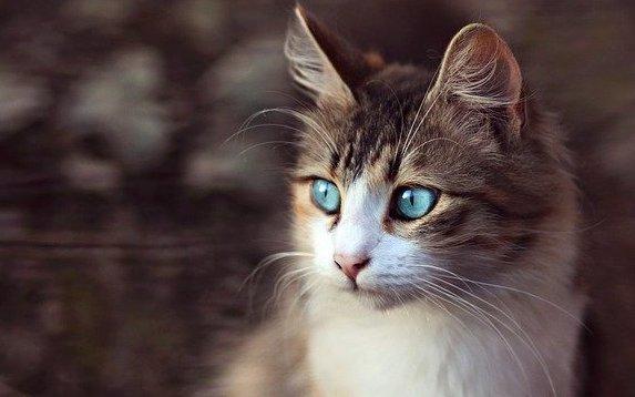 猫目(青い目)