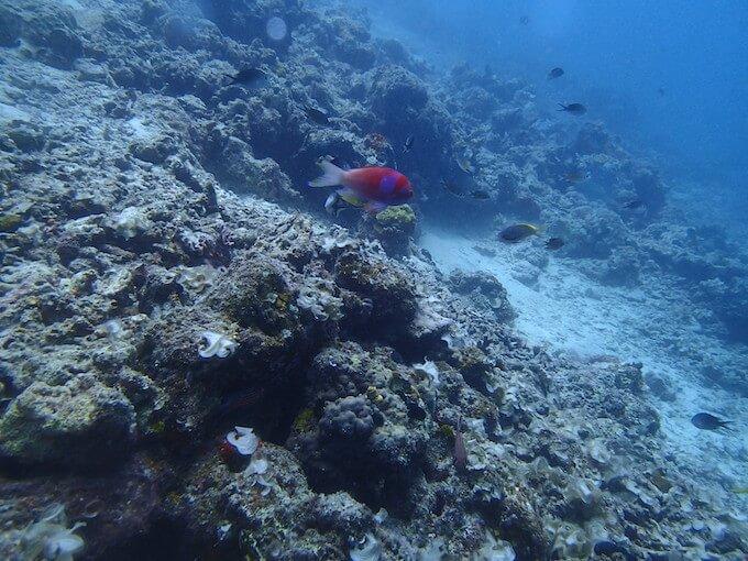 あまり状態の良くない珊瑚2