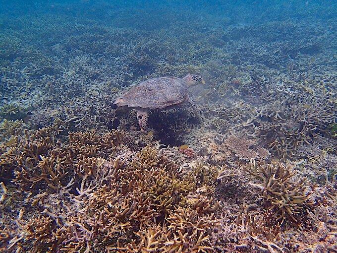 珊瑚礁にいるウミガメ